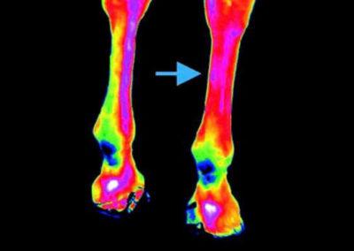 Thermal Imaging - horse leg